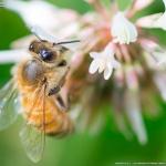 ミツバチぶんぶん