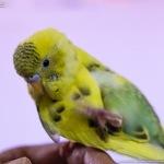 同時放鳥と個別放鳥