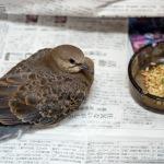 キジバトの幼鳥を保護 #1