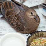 キジバトの幼鳥を保護 #2
